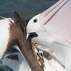 Pelican 1425 (2)