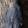 Pogona barbata   Eastern Bearded Dragon head 9386