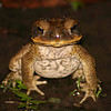 Cane Toad, Port Douglas, Queensland