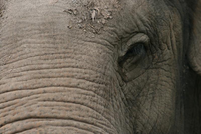 Indian Elephant, Australia ZOO