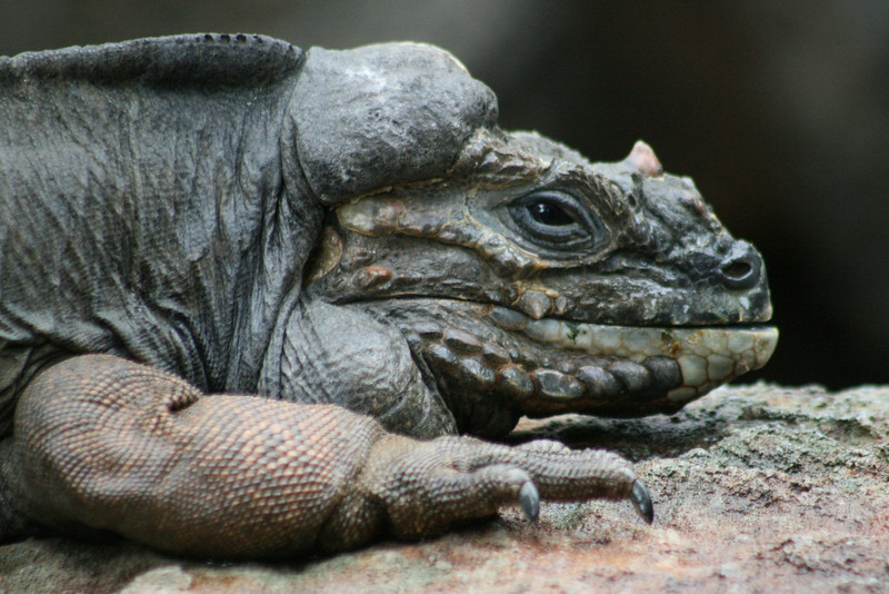 Lizard, Australia Zoo, QLD