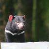 Tassie Devil, Australia Zoo, QLD