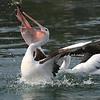 Pelican 1398