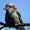 Kookaburra, Sawpit Creek, NSW