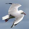 Seagull_3270
