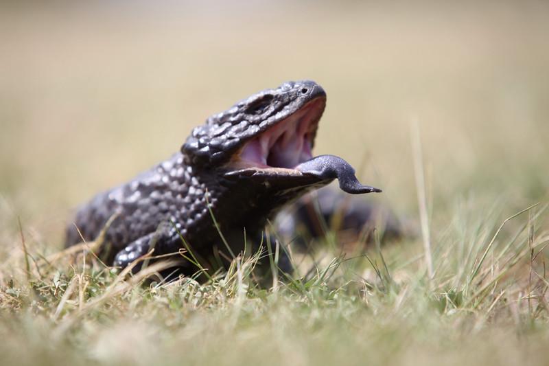 Shingle back lizard, NSW