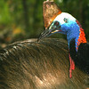 Cassowary - Adult male with chick
