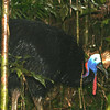 Male Cassowary, Daintree Rainforest, Queensland