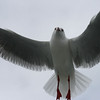 Seagull, Sydney Harbour