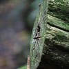 Skink in a log, Dorrigo national Park, NSW