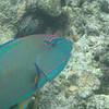 Parrot Fish, Great Barrier Reef, Queensland