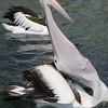 Pelican 1426