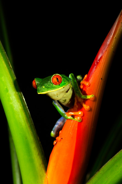 Red Eyed Tree Frog from Costa Rica