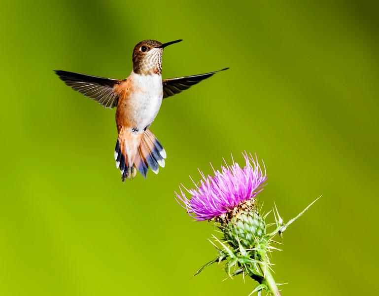 Female Rufous Hummingbird at the Sipe Ranch in Arizona