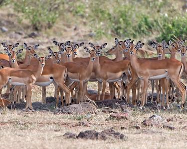 Impala in Shade