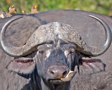 Cape Buffalo with Oxpeckers