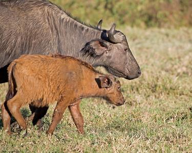 Buffalo Mom and Babe