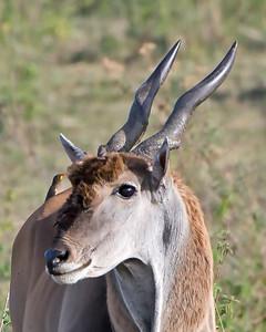Oryx and Oxpecker
