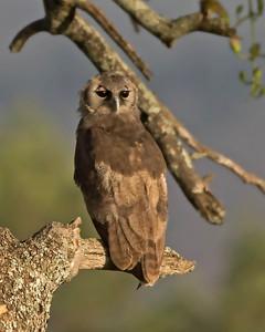 Vereaux Eagle Owl