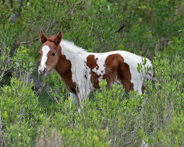 Painted Foal