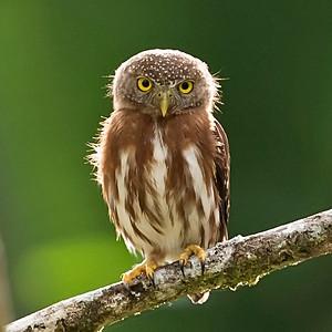 Central American Pygmy Owl