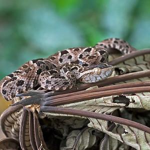 Fer De Lance Snake