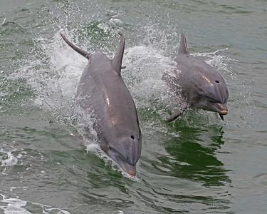 Atlantic Coastal Bottlenose Dolphins