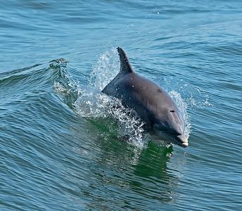 Atlantic Coast Bottlenose Dolphin