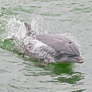 Atlantic Coastal Bottlenose Dolphin