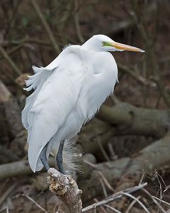 Great Egret, Breeding Color