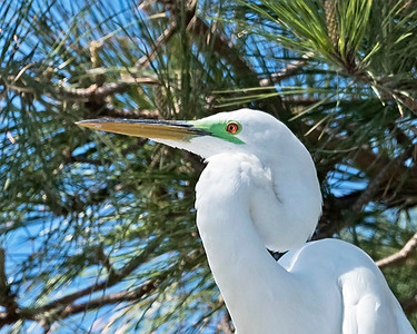 Great Egret in Breeding Color
