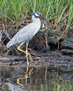 Yellow Crowned Night Heron w/Blue Crab