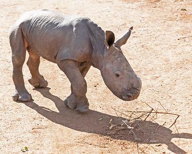 Maarifa, Baby White Rhino