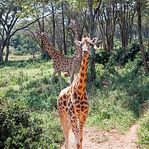 Giraffes (Rothschild) at the Giraffe Center