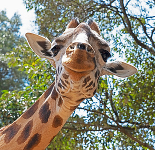 Giraffe (Rothschild) Happy Face