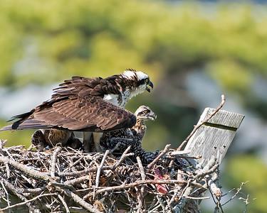 Mom Osprey and Chicks
