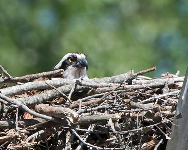 Female Osprey Nest Sitting