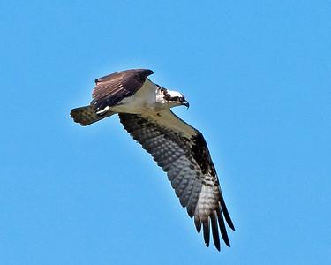 Male Osprey Flight