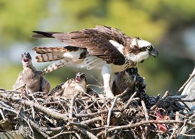 Osprey Mom and Three Chicks