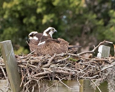 Osprey Couple