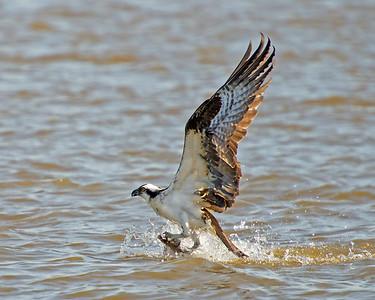Male Osprey Fishing