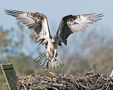 Mom Osprey Landing