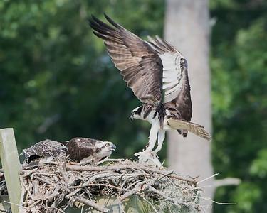 Male Osprey Brings the Food
