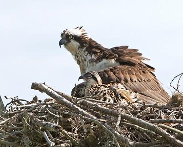 Mom Osprey and Chick