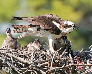 Mom Osprey and 3 Chicks