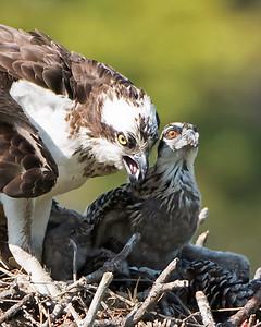 Osprey Mom and Chick