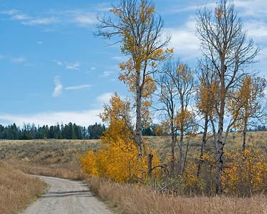 Yellowstone Aspens