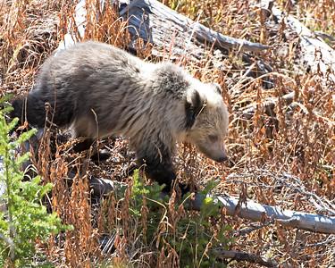 Grub Searching Yellowstone Grizzly Cub