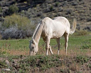 White Horse Near Galentin
