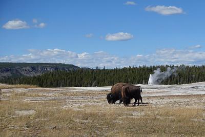 Bison Near the Geyser